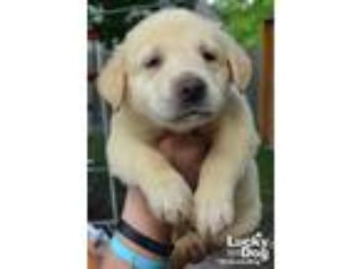 Adopt Boomer a Tan/Yellow/Fawn Labrador Retriever / Mixed dog in Washington