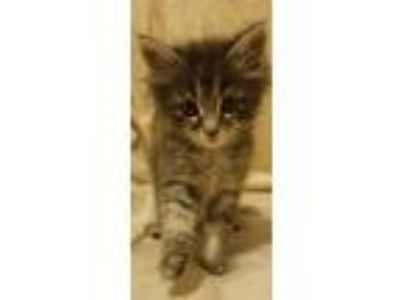 Adopt Chuckles a Gray, Blue or Silver Tabby Maine Coon (medium coat) cat in
