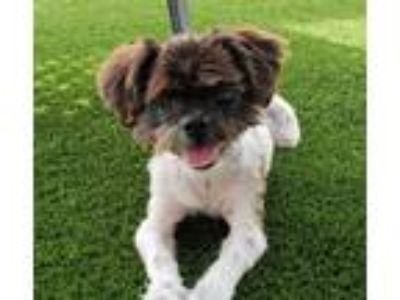 Adopt Lyle a White - with Gray or Silver Shih Tzu / Mixed dog in Ft.