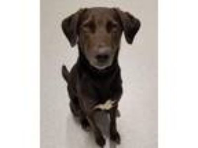 Adopt Tator a Brown/Chocolate - with Black Labrador Retriever / Mixed dog in