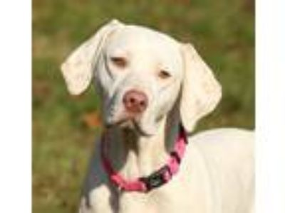 Adopt Debbie-ADOPT PEND a White - with Brown or Chocolate Pointer / Mixed dog in