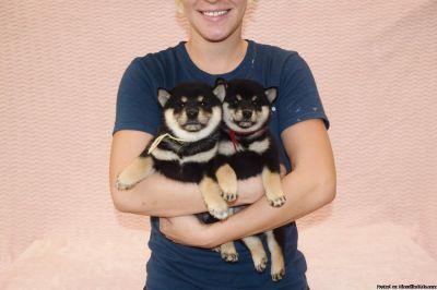 dfgggh Shiba Inu Puppies Ready now
