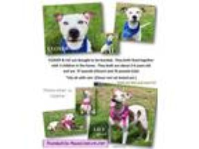 Adopt Clover and Lily a Pit Bull Terrier