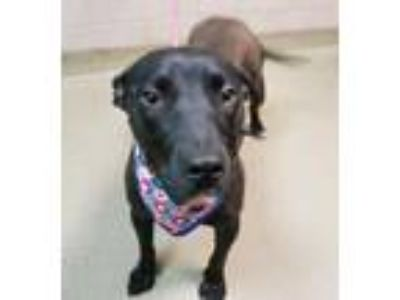 Adopt Elsa a Labrador Retriever, Mixed Breed