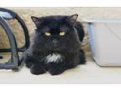 Adopt Gigi a Domestic Long Hair