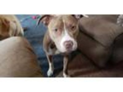 Adopt Jasmine a Tan/Yellow/Fawn - with White American Pit Bull Terrier dog in