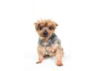 Adopt Fusion a Yorkshire Terrier