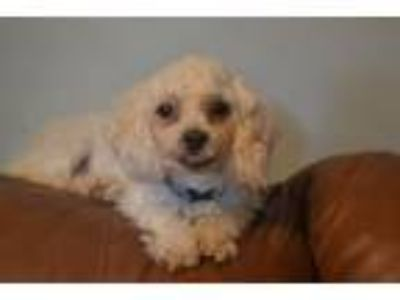 Adopt August a Poodle