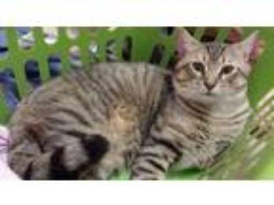 Adopt Pera a Black (Mostly) Domestic Mediumhair / Mixed cat in Charleston