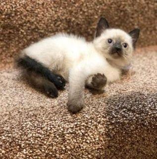 Ragdoll kittens really cute friendly
