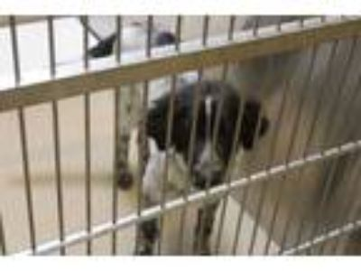 Adopt Goffy a White Australian Cattle Dog / Mixed dog in Farmers Branch