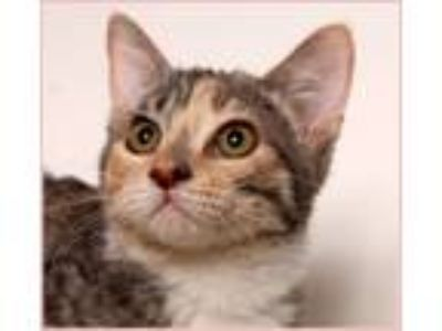 Adopt Cora a Domestic Short Hair, Calico