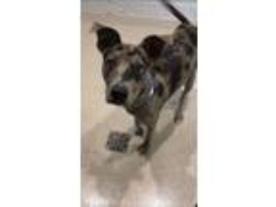 Adopt CHIVE a Catahoula Leopard Dog, Mixed Breed