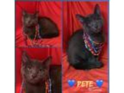 Adopt Polly a Gray or Blue Domestic Shorthair (short coat) cat in