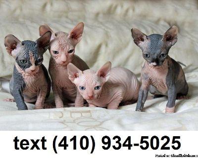 Lovely sphynx kittens for sale.