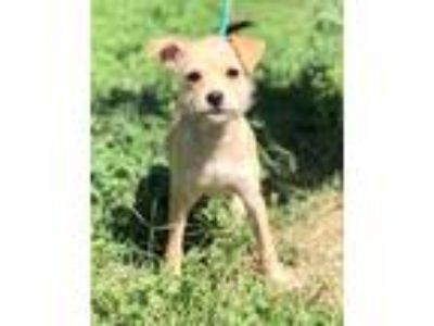 Adopt LAVERNE a White - with Tan, Yellow or Fawn Terrier (Unknown Type