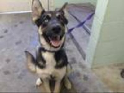 Adopt SESI a Black German Shepherd Dog / Husky / Mixed dog in Sacramento