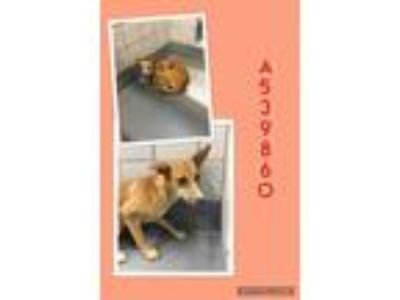 Adopt FRIDA a Tan/Yellow/Fawn Labrador Retriever / Mixed dog in San Antonio
