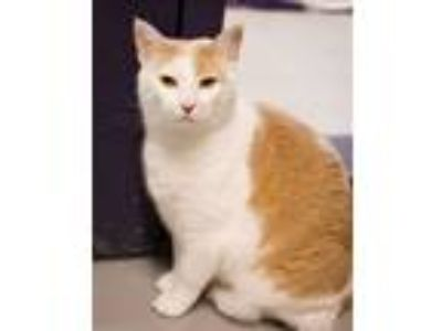 Adopt Hugo a Domestic Short Hair