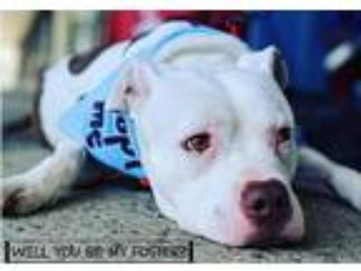 Adopt Rollie a White - with Brown or Chocolate Pit Bull Terrier / Mixed dog in