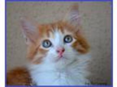 Adopt RINGO - MALE a Domestic Mediumhair cat in Somers, CT (25585863)