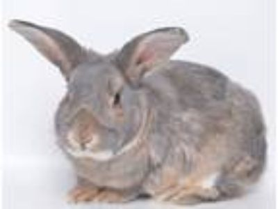 Adopt Romeo a Grey/Silver American rabbit in Jefferson City, MO (25200271)