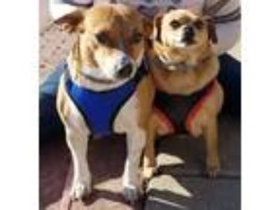 Adopt Jojo & Red a White - with Red, Golden, Orange or Chestnut Corgi / Feist /