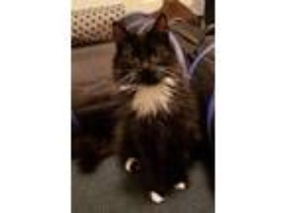 Adopt Pixie a Black & White or Tuxedo Domestic Shorthair / Mixed cat in Battle