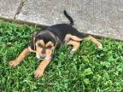 Adopt Peter a Black - with Tan, Yellow or Fawn Beagle / Black and Tan Coonhound