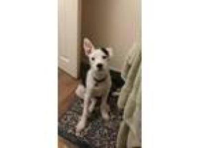 Adopt Rebel a White - with Black American Pit Bull Terrier / Jack Russell