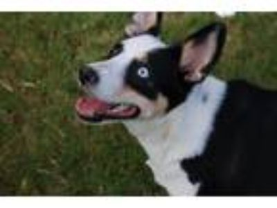 Adopt Kiwi a Tricolor (Tan/Brown & Black & White) Border Collie / Australian