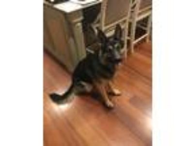 Adopt Kona a Black - with Tan, Yellow or Fawn German Shepherd Dog dog in