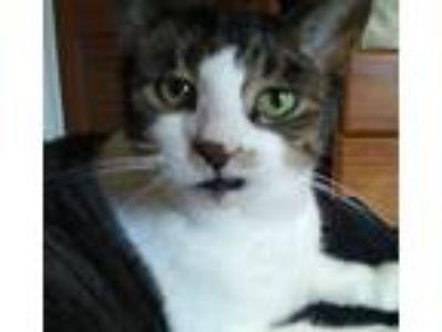 Adopt Chester a Tiger Striped Domestic Shorthair cat in Platte Woods