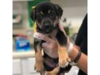Adopt Clover a Black Shepherd (Unknown Type) dog in Clarksdale, MS (25904110)