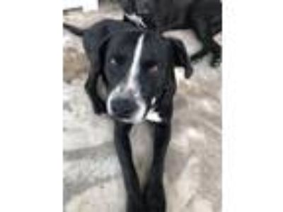 Adopt Clyde a Border Collie, Labrador Retriever