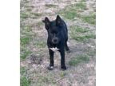 Adopt Trixie TLR a Black - with White Australian Cattle Dog / Catahoula Leopard