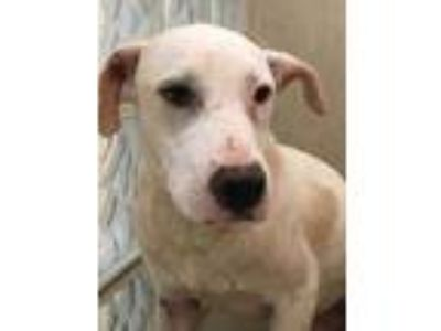 Adopt Casper a White Whippet / Mixed dog in Lihue, HI (25782569)