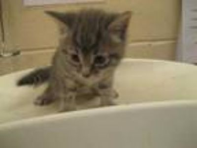 Adopt PHOENIX a Gray, Blue or Silver Tabby Domestic Shorthair / Mixed (short
