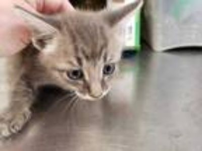 Adopt Austin a Gray or Blue Domestic Shorthair / Domestic Shorthair / Mixed cat