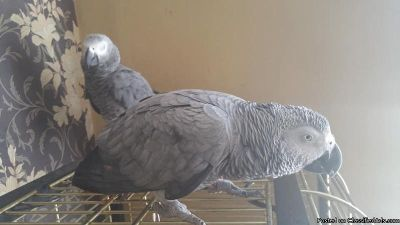 African grey parrot (female) including cage and play stand