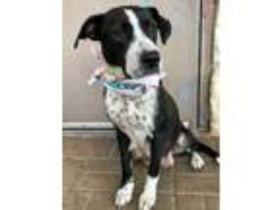 Adopt Rosita a Black American Pit Bull Terrier / Shepherd (Unknown Type) / Mixed