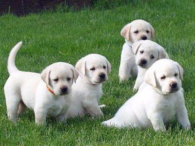 AKC Yellow Labrador Retrievers, Dual Champion Lines