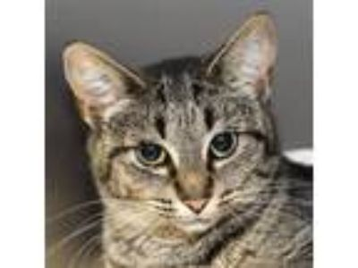 Adopt Dash a Brown or Chocolate Domestic Shorthair / Domestic Shorthair / Mixed