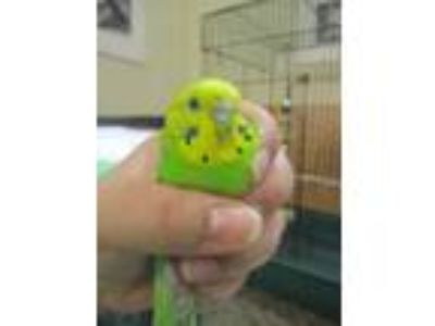 Adopt Marty McFly a Green Parakeet - Other / Parakeet - Other / Mixed bird in