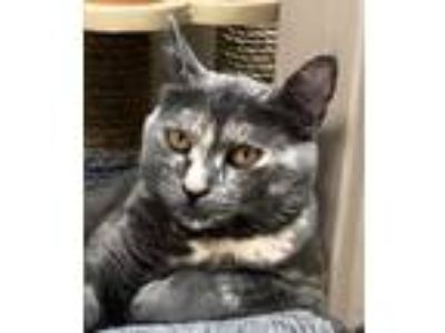 Adopt Sicily a Gray or Blue Domestic Shorthair / Domestic Shorthair / Mixed cat