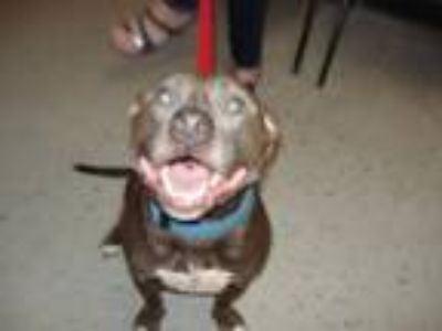 Adopt Silas a Terrier, Pit Bull Terrier