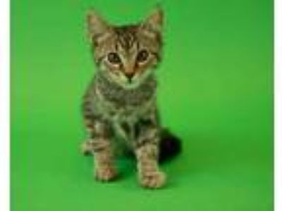 Adopt Jupiter a Gray or Blue Domestic Shorthair / Domestic Shorthair / Mixed cat