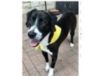Adopt Roman a Black - with White Border Collie / Pointer dog in Rockwall
