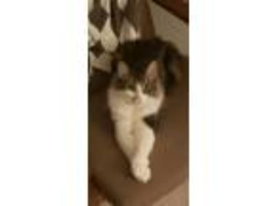 Adopt Claire a Gray, Blue or Silver Tabby Domestic Shorthair / Mixed (short