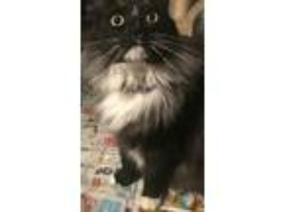 Adopt Tux a Black & White or Tuxedo Maine Coon (long coat) cat in Palmdale